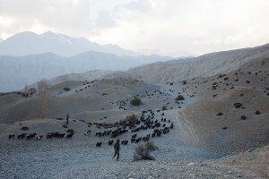 grazing goats mustang nepal